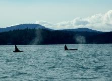 orcas_01