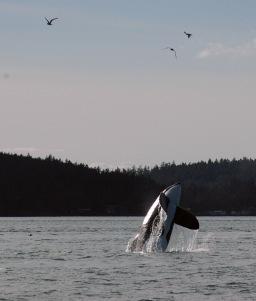 orcas_02