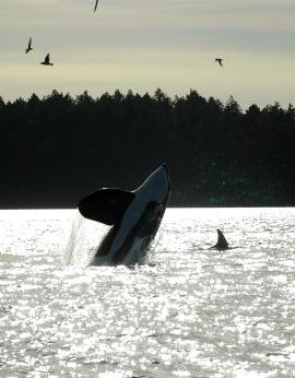 orcas_05