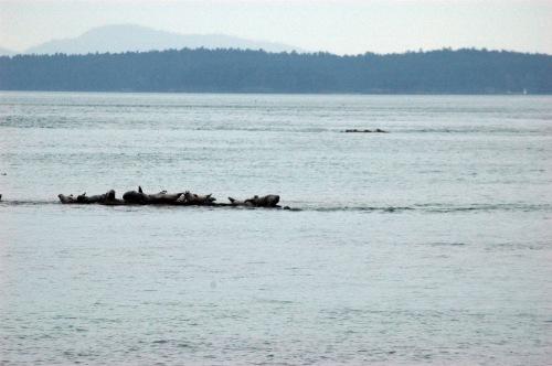 Seals_PortlandIsl_02