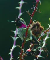 Stuart Island Hummingbird_01