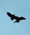 eagles_jousting