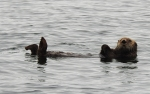 SeaOtter_01
